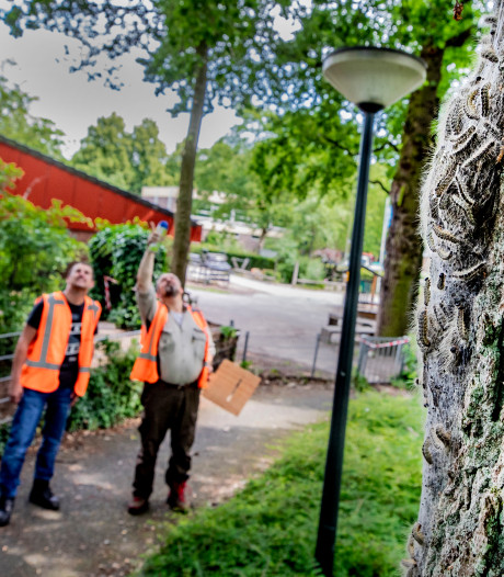Bestrijding eikenprocessierups gaat in Apeldoorn nog enkele weken door