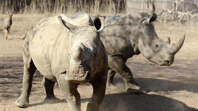 De meeste neushoorns leven in Zuid-Afrika.