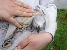Papegaai Pien met hoogwerker uit boom in Lelystad gered