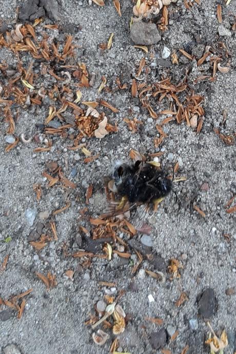 Veel dode hommels in Rijssen, hoe komt dat?