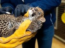 Zeldzame Sri Lanka panterbaby van Burgers' Zoo krijgt net als jouw huiskat enting tegen kattenziekte