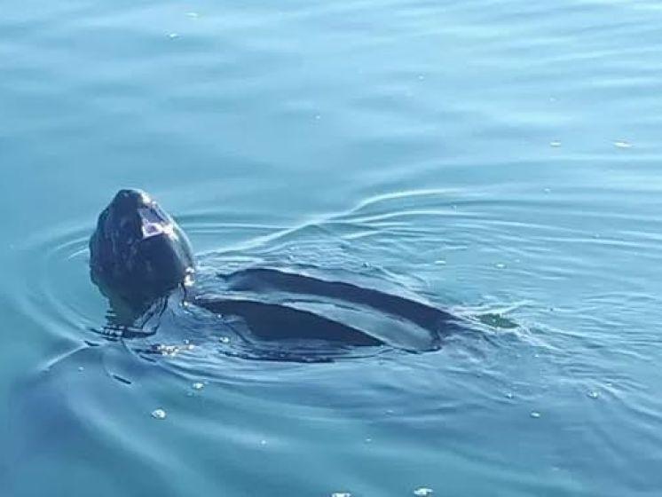 2,5 meter grote lederschildpad zwemt Nederland binnen
