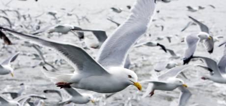 Ze maken herrie en trekken prullenbakken leeg: Alkmaar en de strijd tegen meeuwen