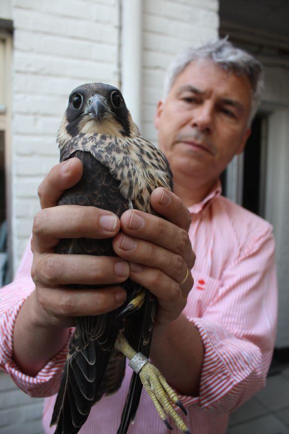 Rik De Baere van Natuurpunt, een paar jaar geleden, met een slechtvalkjong van de Sint-Jozefskerk.