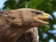 Politie wil roofvogels inzetten tegen drones