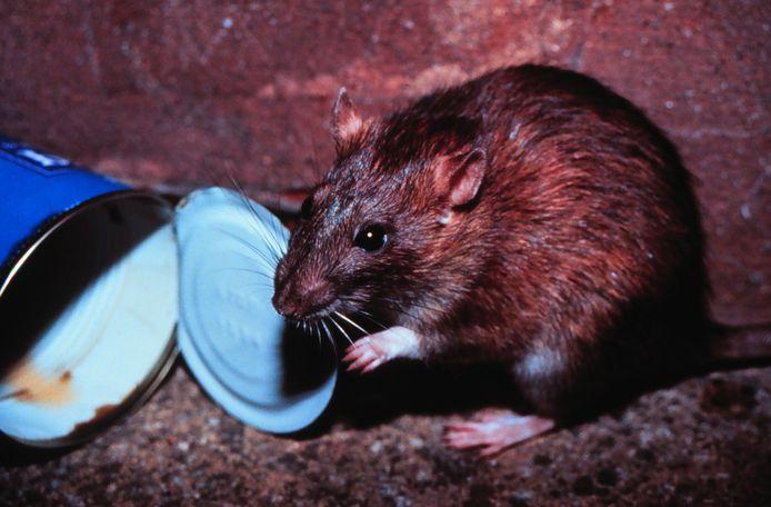 Een bruine rat