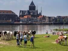 Levensgevaarlijk? Stier tussen de badgasten langs de IJssel