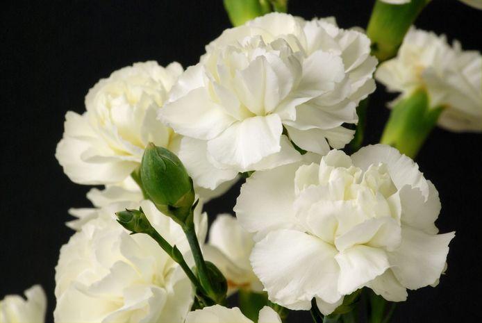 De Witte Anjer is het symbool voor waardering voor alle Nederlandse veteranen.