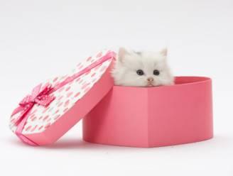Man brengt voor Valentijnsdag gestolen kitten terug uit schuldgevoel