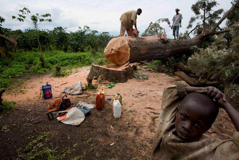 Een kind kijkt toe hoe mannen aan de rand van het Virunga Park in de Democratische Republiek van Congo vellen. Beeld IMAGEGLOBE
