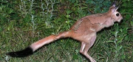 Vetarme springhaas is plaagdier voor boeren, maar wel een met prima vlees