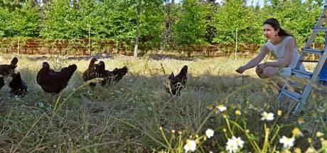 De kip als onkruid bestrijder op het land van Kweker-ei