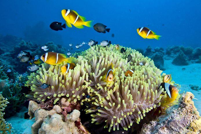Archiefbeeld van het Great Barrier Reef in Australië, een van de meest gekende voorbeelden van de rampzalige gevolgen die de klimaatverandering heeft.