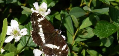 Daar ruist wat in het struikgewas: zomer mooie tijd voor vlinders, kevers, libellen en sprinkhanen