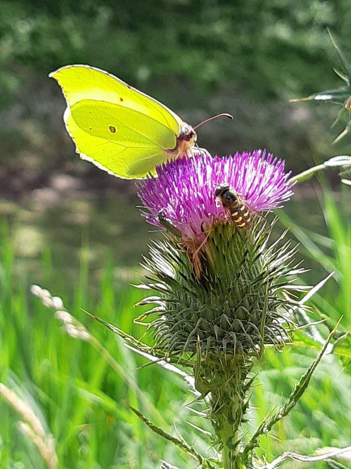 SAMEN SMULLEN Al wandelend in het bos van het waterwingebied bij Kapellebrug kwamen we deze distel met citroenvlinder en gele halvemaanzweefvlieg tegen. Als dat geen zomergevoel geeft.