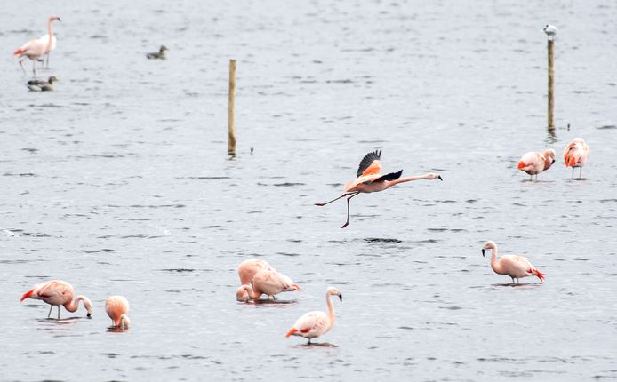 Een grote groep flamingo's is deze week neergestreken in het Zwillbrocker Venn.