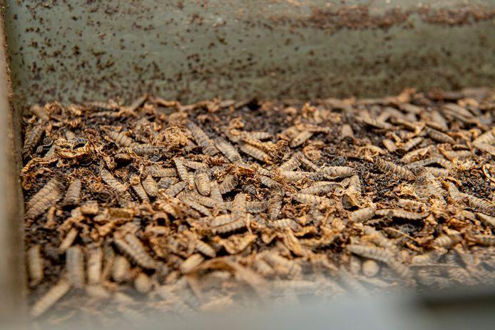 Gedroogde meelwormen.