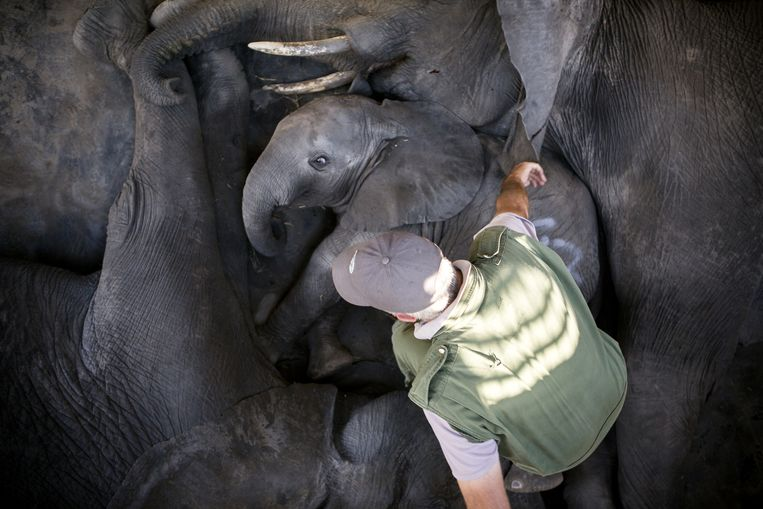Een dierenarts controleert de olifanten in de 'wake-up box'. Beeld Julius Schrank