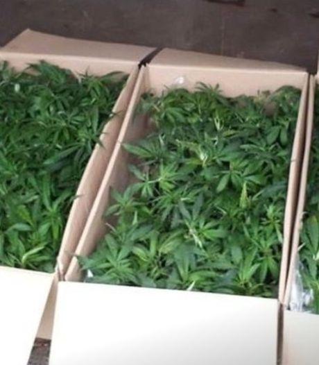 Drie mannen aangehouden na vondst van duizenden hennepplanten in Sint-Annaland
