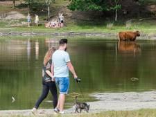 Schotse Hooglanders zijn geen attractie waar je op kan zitten: 'Het is hier geen kinderboerderij'