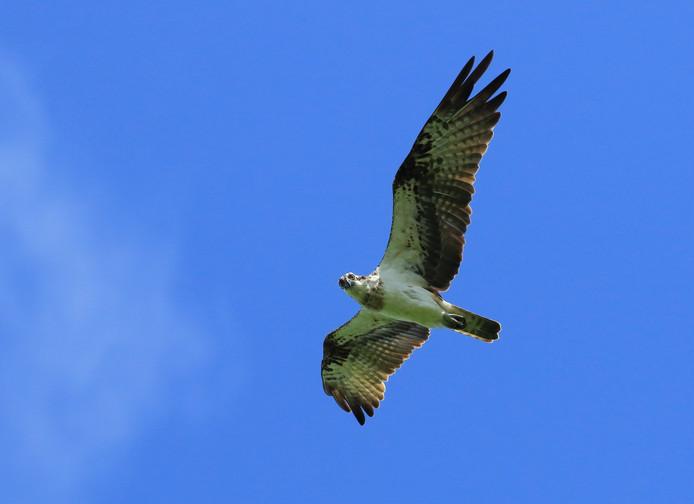 De visarend heeft lange, smalle vleugels.