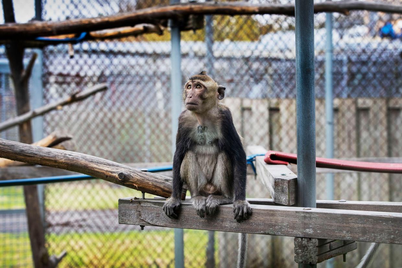Een aapje bij het Biomedical Primate Research Centre.