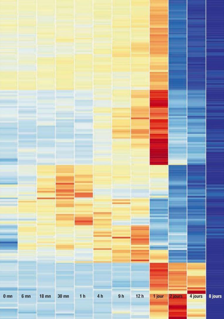 Tussen 24 uur en 48 uur ná de dood zien we een piek in activiteit bij de genen. Bovendien komen zelfs genen die al sinds de geboorte uitgeschakeld waren, plots weer tot leven. Op het einde stopt alle activiteit. Beeld Science&Vie