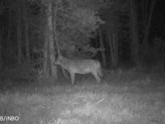 Nog meer wolven in Limburg deze zomer: Noëlla is weer drachtig