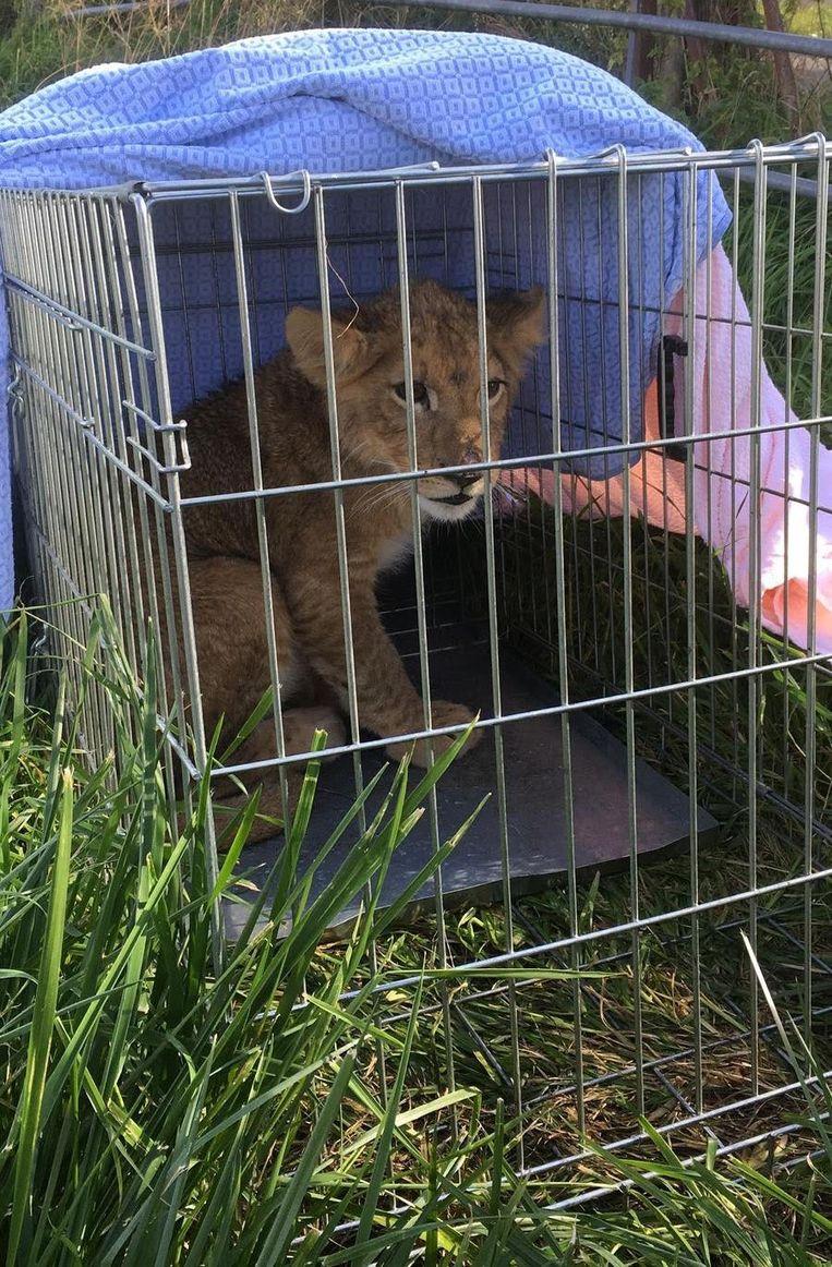 Een voorbijganger heeft in de Utrechtse plaats Tienhoven een leeuwenwelpje gevonden. Het dier zat in een hondenbench in een weiland.
