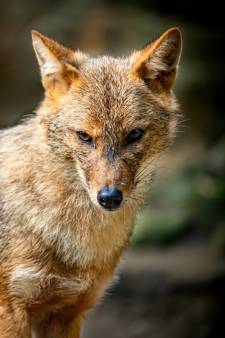 Jakhals, wasbeer, wolf: welke wilde nieuwkomer is de volgende in Nederland?
