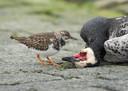 Wilde vogels leggen in Friesland het loodje door vogelgriep. Op de foto een brandgans.