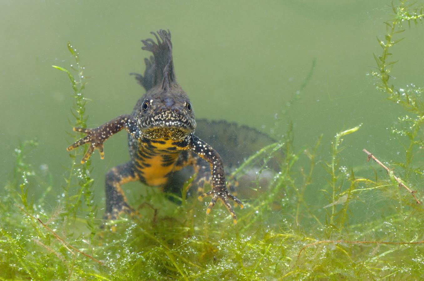 De kamsalamander is een bedreigde diersoort, maar heeft op de Sallandse Heuvelrug  het droge jaar 2019 goed doorstaan.