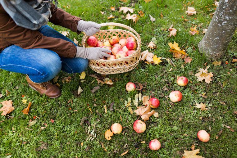 Appels verzamelen. Beeld Colourbox