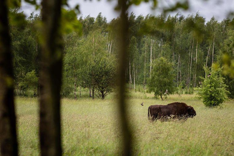 Een wisent in Polen.  Beeld AFP