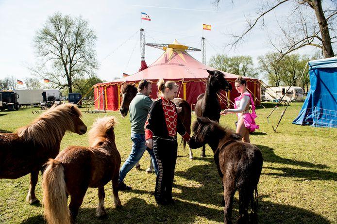 Paarden van het Circus Bernardo in het Zuiderpark in Apeldoorn.
