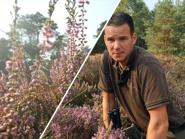 Paarse heide in gevaar door stikstof: 'Als we niks doen is er binnen een paar jaar bos'