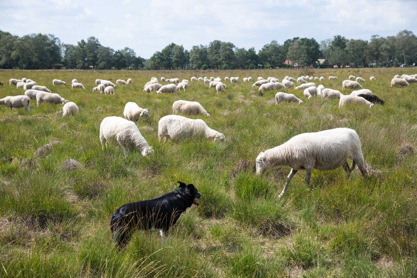 Schaapskudde Elspeter Heide houdt voorlopig vast aan haar reguliere herdershonden.