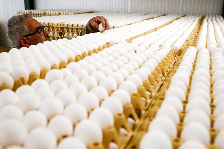 Bij een eierhandel in Doornenburg (Gelderland) liggen 200.000 eieren opgeslagen. De eieren worden niet vrijgegeven voor consumptie. Beeld anp