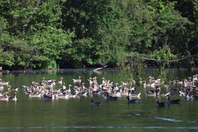 In de zomer vormen grauwe ganzen vaak grote groepen met andere koppels en hun jongen. Grauwe ganzen zijn verantwoordelijk voor de grootste schade aan landbouwgewassen; in dit geval gras.