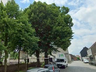 Eén van de twee linden op het dorpsplein van Zegelsem moet weg