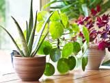 Vijf tips om kamerplanten de hitte te laten overleven