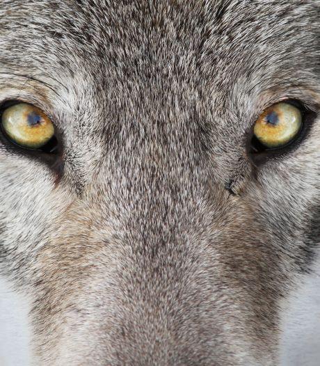 De wolf is terug, zegen of gevaar?