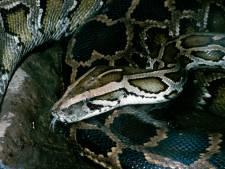 Près de 80 pythons et deux tortues de Floride découverts dans une habitation en Flandre