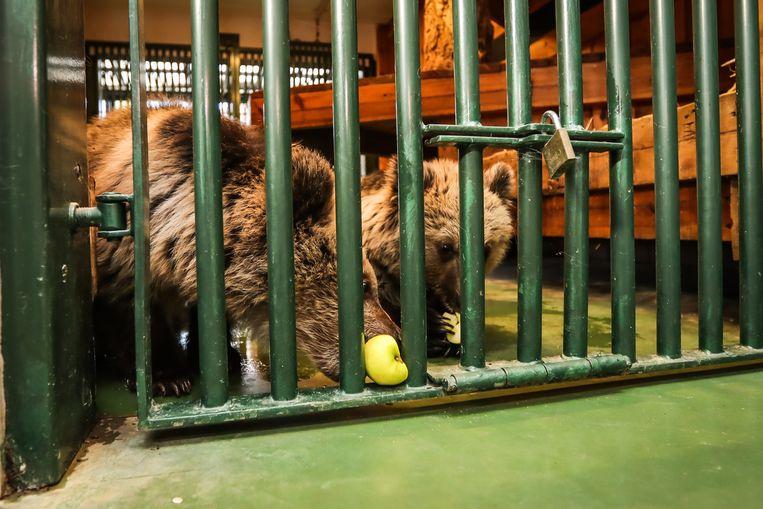 De bruine beren in het Natuurhulpcentrum.