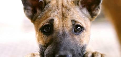 House of Animals: 'Puppyhandelaren in Diessen en Chaam werken met Hongaarse fraudeurs'