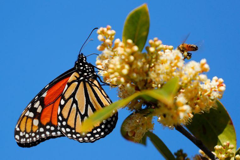 Een monarchvlinder.