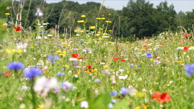 Milieuadviesraad vraagt inwoners bloemen te planten om bijen te helpen