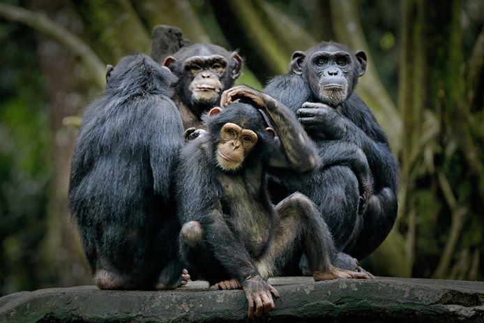 Chimpansees zijn sociale dieren en horen in het wild.