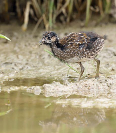 Natuurfotograaf kiekt zeldzaam porseleinhoen in Osse polders