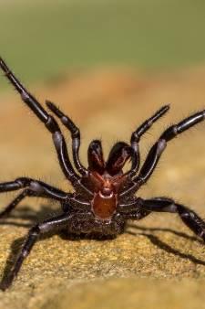 Na bosbranden en overstromingen gaan dodelijke spinnen nu Australië teisteren, zeggen experts